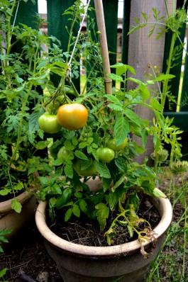 20140807_Odlingstra_ff_Vikingava_gen_tomater